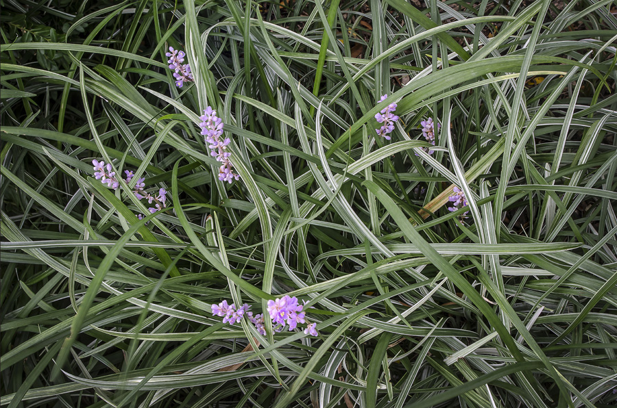 Green Grass With Purple Flowers fine art photograph by Dan Cleary of Cleary Creative Photography in Dayton Ohio