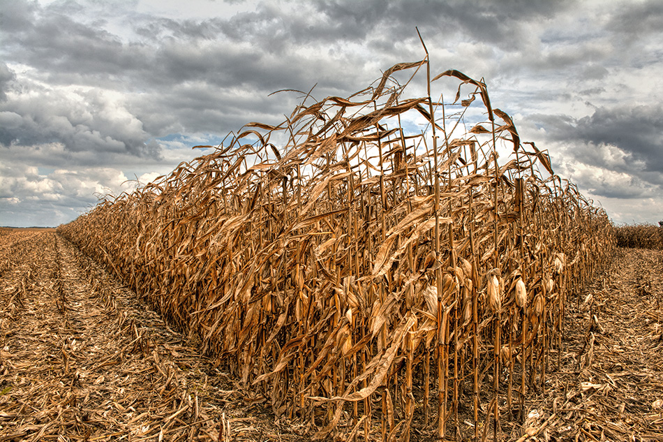 Englewood Ohio Corn Field by Dan Cleary of Cleary Creative Photography in Dayton Ohio