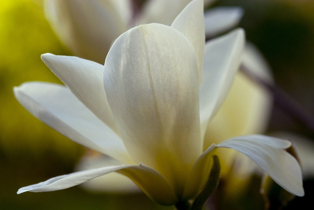 Magnolia blossom fine art photograph by Dan Cleary of Cleary Creative Photography in Dayton Ohio