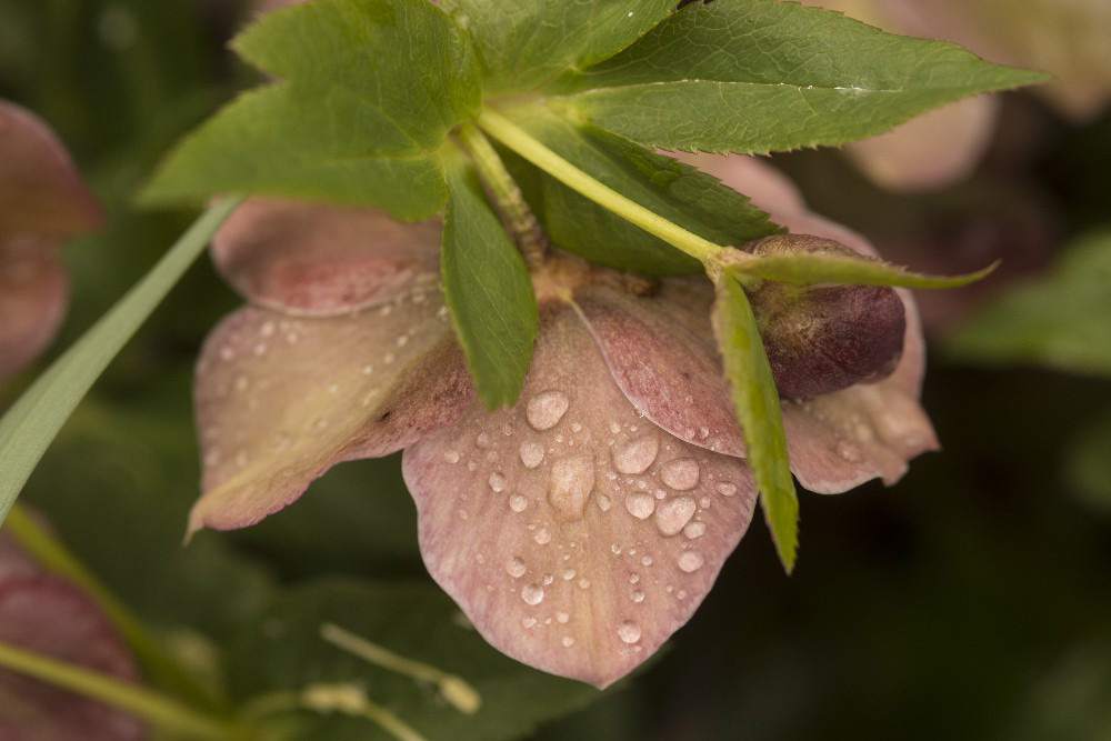 Red Helleborus fine art photograph by Dan Cleary of Cleary Creative Photography in Dayton Ohio