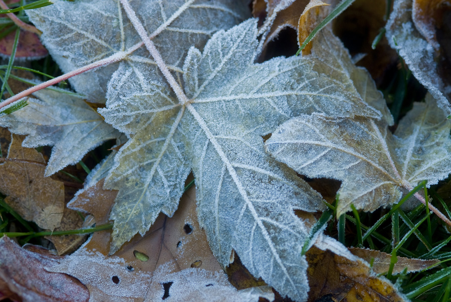 Blue Leaf With Frost By Dan Cleary of Cleary Creative Photography in Dayton Ohio