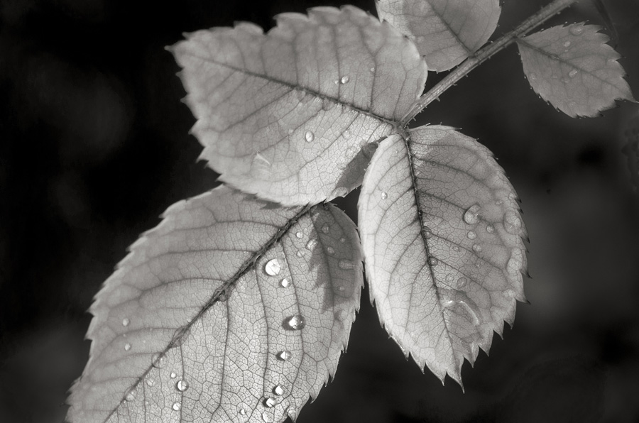 Rose leaves with water drops by dan cleary of cleary crative photography in dayton ohio