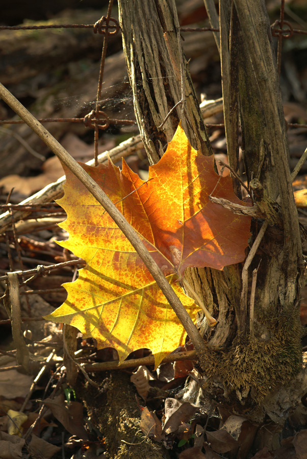 Sunlite Leaf In The Woods By Dan Cleary of Cleary Creative Photography in Dayton Ohio